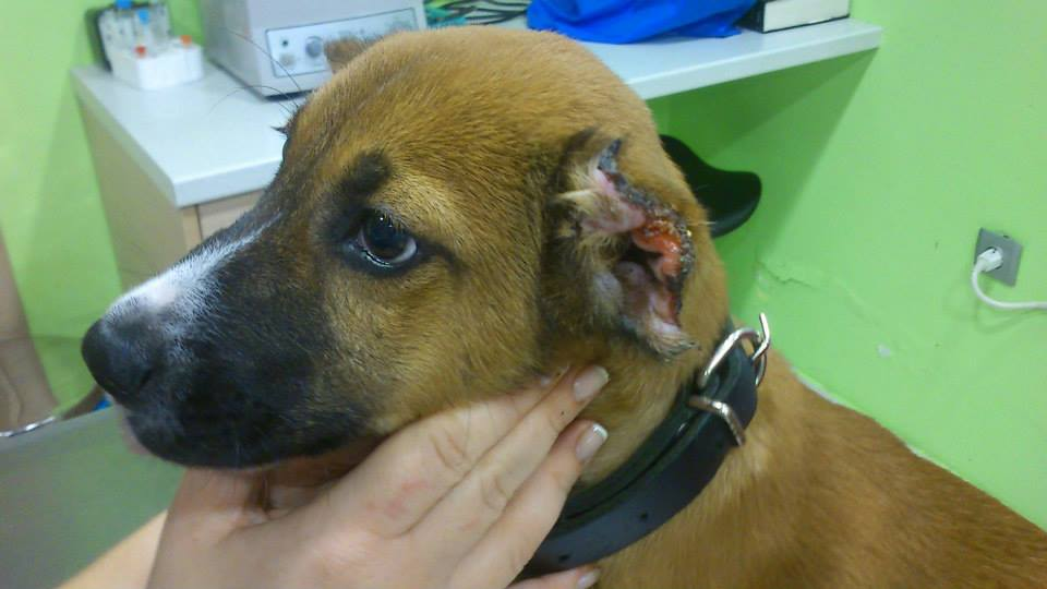 Dog Ear Cut Off Cut Off His Ears With Scissors